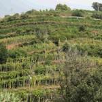 Le terrazze tipiche del Tigullio e della Liguria