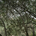 Gli ulivi simbolo dell'agricoltura locale