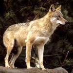 Un esemplare di lupo del nostro Appennino
