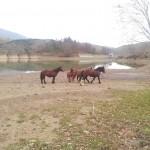 Cavalli bradi a Giacopiane