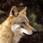 """Ci si prenota per la gita """"alla scoperta del lupo"""""""
