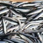 Le acciughe, patrimonio del Mar Ligure