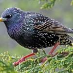 Lo storno, uccello ghiotto di olive