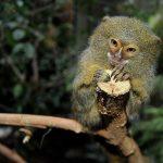 Una scimmia uistitì è stata ritrovata a Sestri Levante