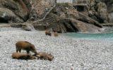 spiaggia san fruttuoso con cinghiali