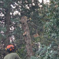 Recco, tagliati i rami di un albero pericolante